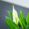 Kwiat skrzydłokwiat