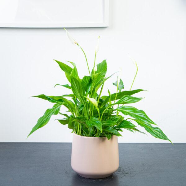 Skrzydłokwiat spathiphyllum
