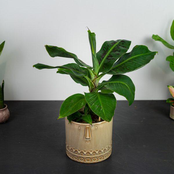 bananowiec-musa-dwarf-cavendish