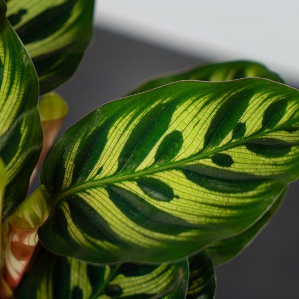 calathea-makoyana