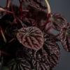 peperomia-red-luna