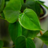 philodendron-scandens