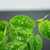 scindapsus-pictus-argyraeus