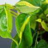 philodendron-scandens-brasil