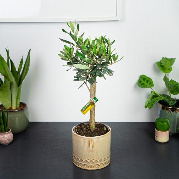 drzewko-oliwne-olea-europea