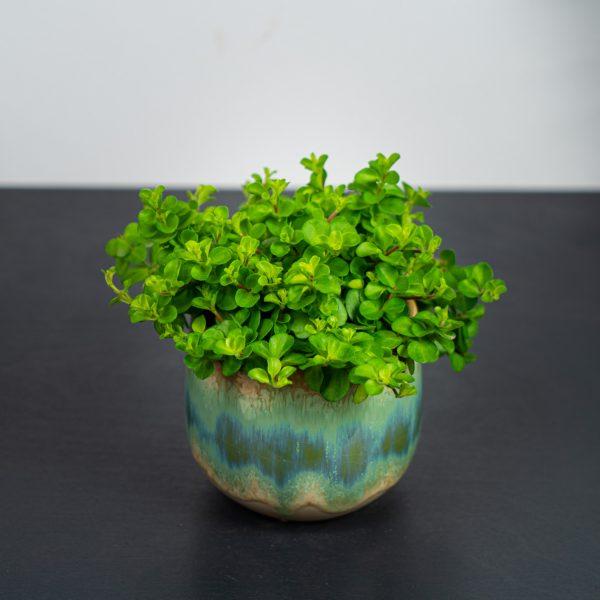 peperomia-rotundifolia