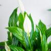 Spathiphyllum skrzydłokwiat