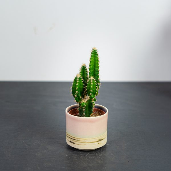 cereus-repandus-florida-baby
