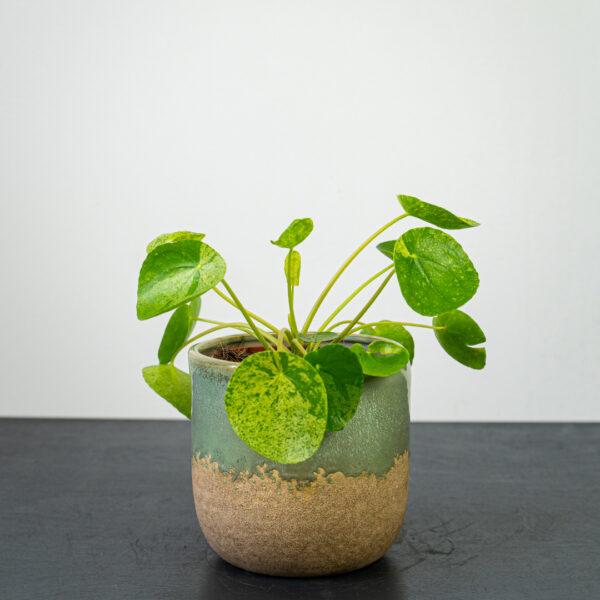 pilea-peperomioides-variegata-mojito-pieniazek