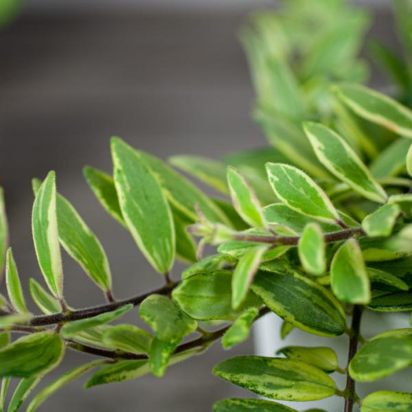 Aeschynanthus 'bolero bicolore'