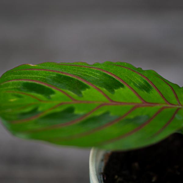 maranta-tricolor-baby