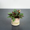 peperomia-rosso-baby