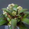 crassula-orbicularis-rosularis-baby