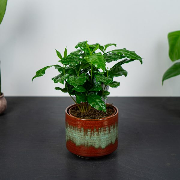 kawa-coffee-arabica