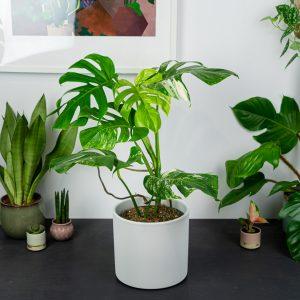 monstera-deliciosa-variegata