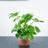fatsia-japonica