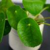 pilea-peperomioides-pieniazek