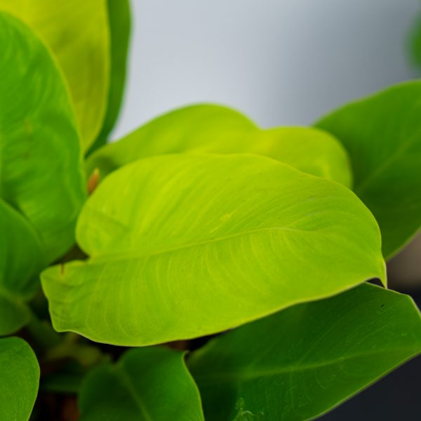 philodendron-moonlight