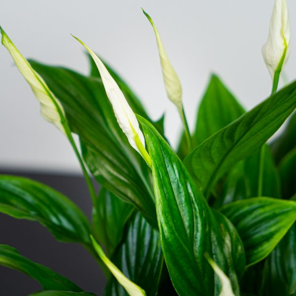 skrzydlokwiat-spathiphyllum