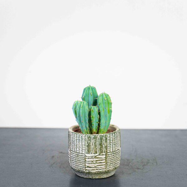 cereus-myrtillocactus-geometrizans
