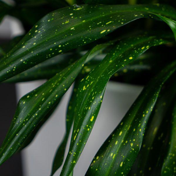 dravieria-fireflies-green-gigant