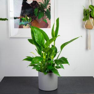 skrzydlokwiat-sweet-lauretta-spathiphyllum