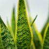 sansevieria-trifasciata-laurentii