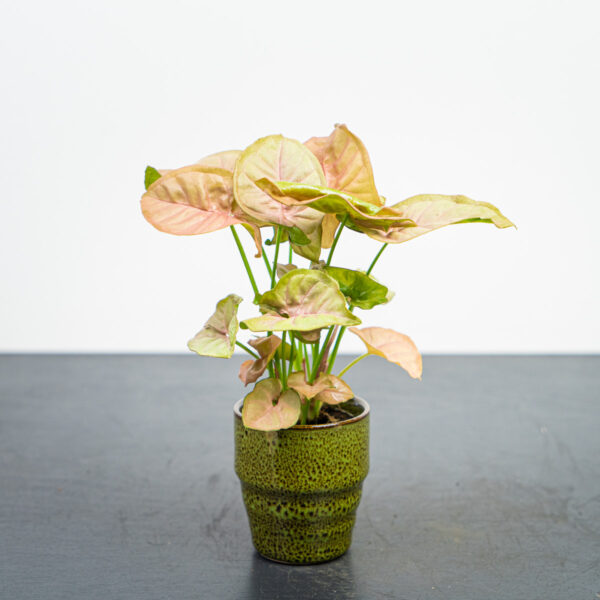 syngonium-neon-robusta-baby