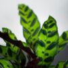 calathea-lancifolia