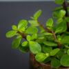 portulacaria-afra-green-crassula