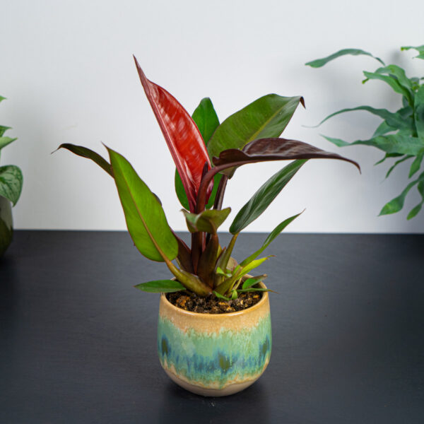 philodendron-red-king