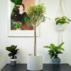 drzewko-oliwne