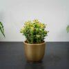 crassula-perforata-variegata
