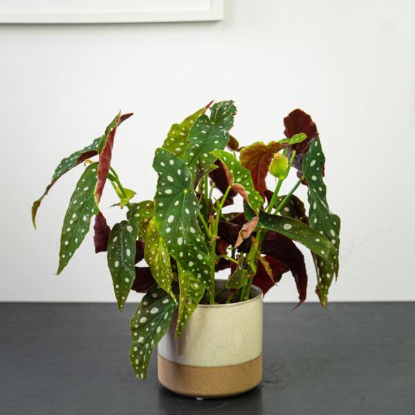 begonia-maculata