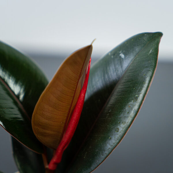 ficus-elastica-abidjan