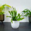 kaktus-zygzak-epiphyllum-anguliger