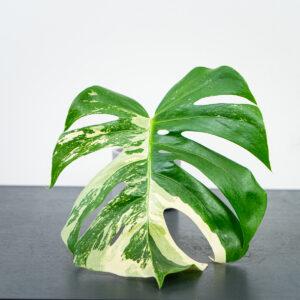 monstera-deliciosa-variegata-sadzonka