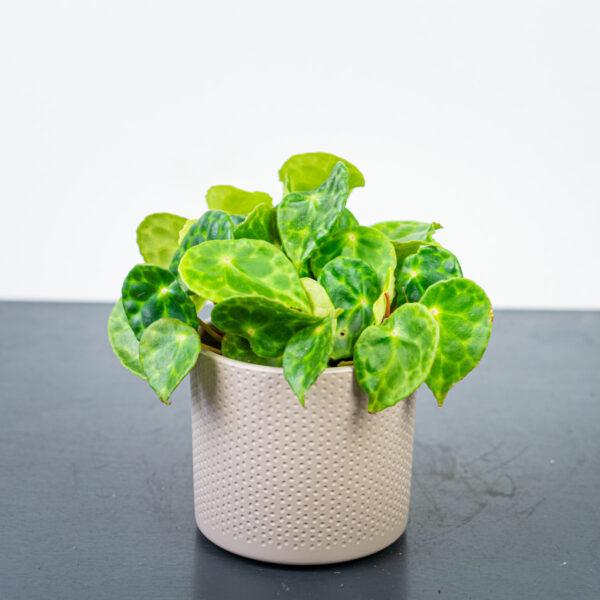 begonia-kingiana