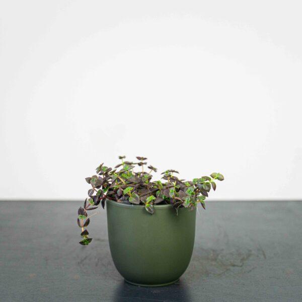 crassula-marginata-purple