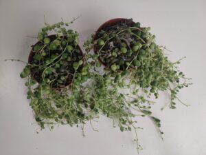 choroby-grzybowe-roslin-doniczkowych