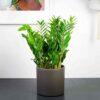 zamioculcas-zamiifolia-zamiokulkas